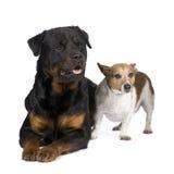 Rottweiler (3 ans) et un plot Russel Photos libres de droits