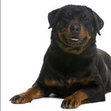 Rottweiler (3 years) Royalty Free Stock Photo