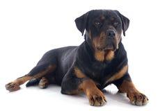 Rottweiler 图库摄影