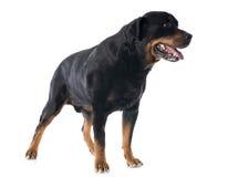 Rottweiler Imagen de archivo libre de regalías