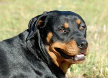 Rottweiler Royalty Free Stock Photos
