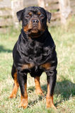 Rottweiler Fotos de Stock Royalty Free