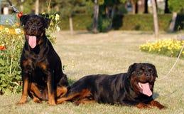 Rottweiler Stock Foto's