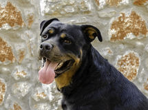 Rottweiler 免版税图库摄影
