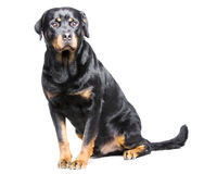 Rottweiler狗 免版税库存图片