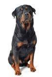 Rottweiler 库存照片