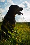 Rottweiler Royaltyfria Foton