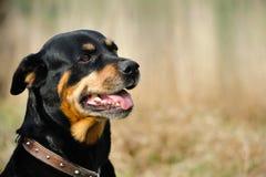 Rottweiler Fotografering för Bildbyråer