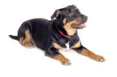 Rottweiler. An expressive young rottweiler dog photographed over a white background Stock Image