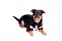 Rottweiler. An expressive young rottweiler dog photographed over a white background Stock Photo