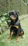 Rottweiler photos stock