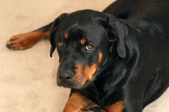 Rottweiler. Closeup of Tanker the Rottweiler Stock Image