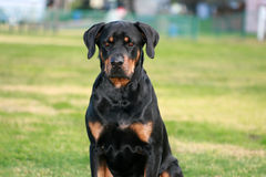 Rottweiler Stock Images