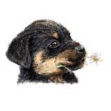 rottweiler Стоковое Изображение RF
