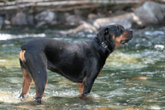 Rottweiler. Tanker the Rottweiler in the river Stock Photo