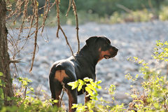 Rottweiler. Tanker the Rottweiler watching the river Royalty Free Stock Images