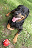 Rottweiler Royalty-vrije Stock Foto's
