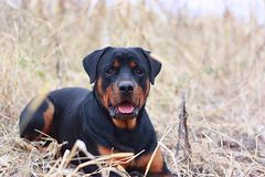 rottweiler Obrazy Royalty Free