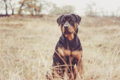 rottweiler Photo stock