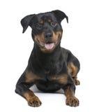Rottweiler (8 meses) Fotos de archivo libres de regalías