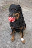 Rottweiler Photographie stock libre de droits