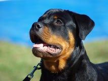 Rottweiler image libre de droits