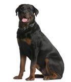 Rottweiler, 9 Monate alte, sitzend Lizenzfreie Stockfotografie