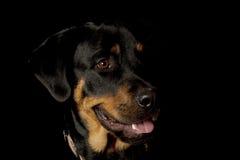 Rottweiler lizenzfreie stockfotografie