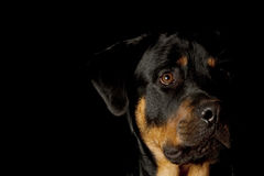 Rottweiler Stock Image