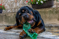 rottweiler 免版税库存图片