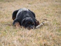 Rottweiler-Abstiege mit Stock lizenzfreie stockfotografie