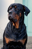 Purebred rottweiler royalty free stock images