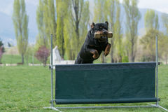 Rottweiler on agility competition, over the bar jump. Royalty Free Stock Photography