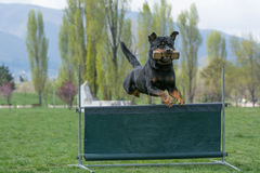 Rottweiler on agility competition, over the bar jump. Royalty Free Stock Image