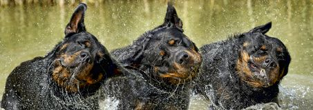 Rottweiler - aperfeiçoe o representante da raça Imagem de Stock Royalty Free
