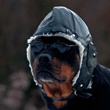 Rottweiler as a pilot Royalty Free Stock Photography