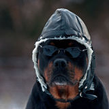 Rottweiler as a pilot. With sunglasses and hat Stock Photography