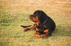 Rottweiler assentado Fotos de Stock