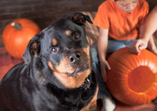 Rottweiler baby sitting Royalty Free Stock Images