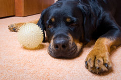 Rottweiler with a ball Royalty Free Stock Photography
