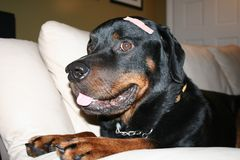Rottweiler with bandaid. A rottweiler with a bandaid on his head royalty free stock photos