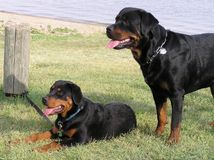 Rottweiler Beach Stock Images