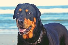 Rottweiler at the beach stock image