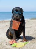 Rottweiler on beach Stock Photo