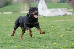 Rottweiler bieg na trawie Obrazy Stock