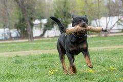 Rottweiler bieg na trawie Fotografia Stock