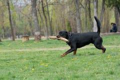 Rottweiler bieg na trawie Obraz Stock