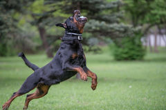 Rottweiler bieg na trawie Zdjęcie Stock