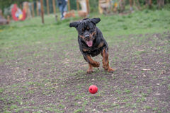 Rottweiler bieg na trawie Zdjęcie Royalty Free