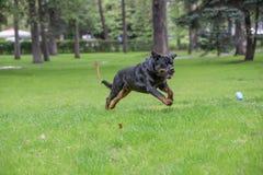 Rottweiler bieg na trawie Obrazy Royalty Free